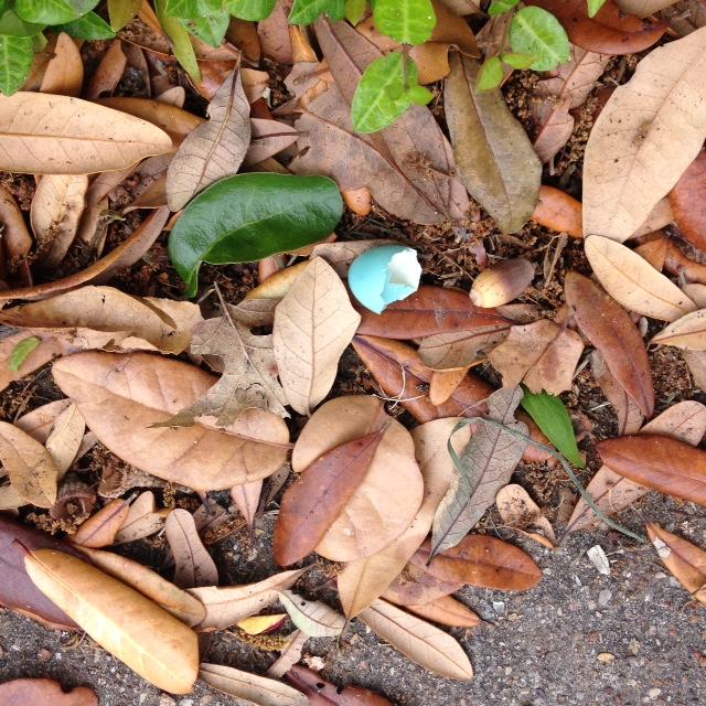 Robin's egg 2016